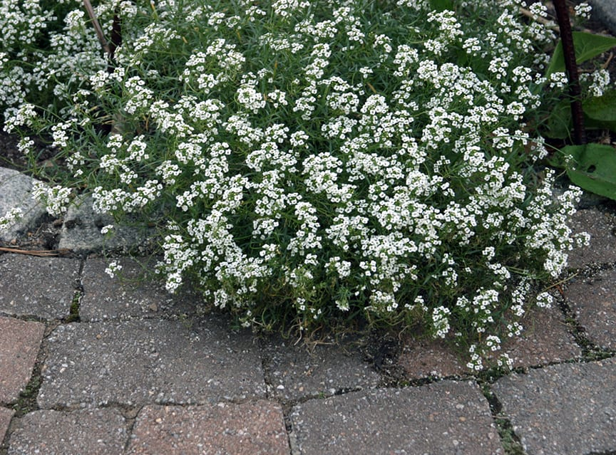 White Lobularia, such as this Snow Princess, is fragrant on summer evenings. What plants and environments do you want in your life? Chances are, you CAN grow that!